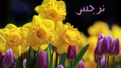 Photo of معنى اسم نرجس و هل هو اسم عربي و ما علاقته بالاسطورة المشهورة